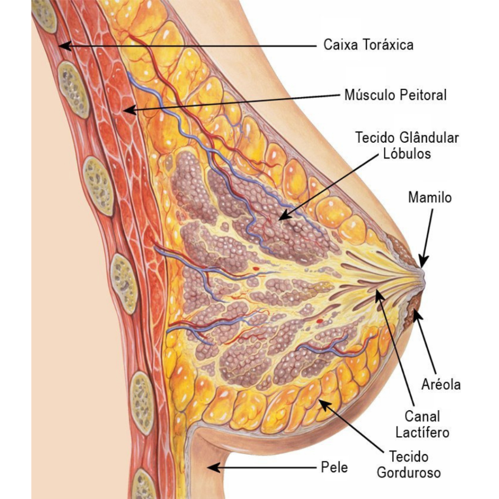 Glândula exócrina - Mamária
