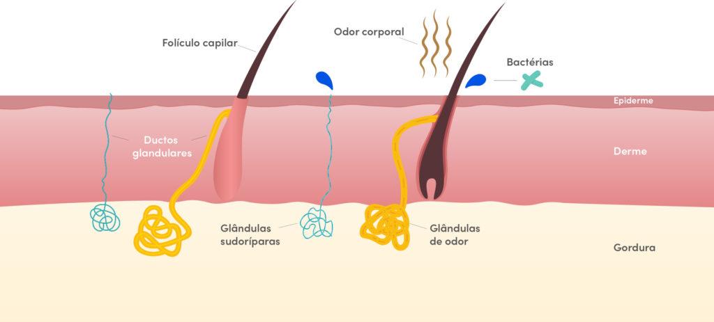 Glândula exócrina - Sudoríparas