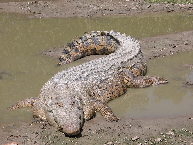 Os maiores animais do mundo - Crocodilo-de-água-salgada