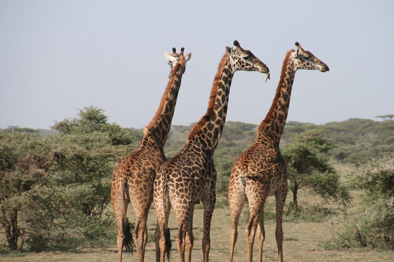 Os maiores animais do mundo - Girafa