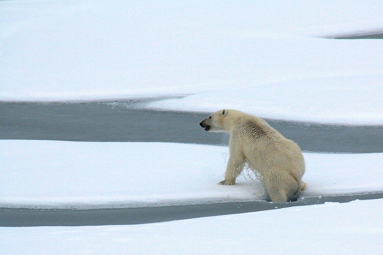 Os maiores animais do mundo - Urso-polar