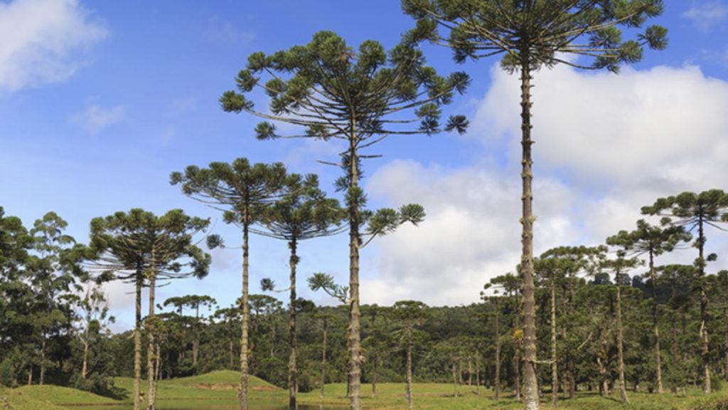 Ecossistemas Brasileiros - Mata das Araucárias