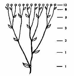 Folhas de uma planta - Sequência de Fibonacci