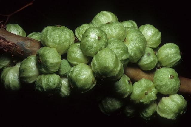 Fruta Jabuticaba branca