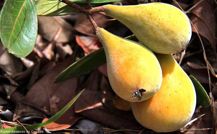 Fruta Pera do campo