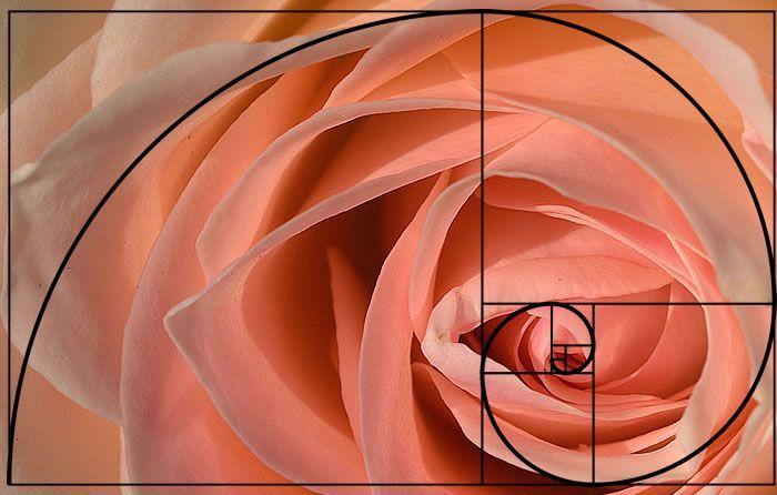 Retângulo de ouro em uma rosa