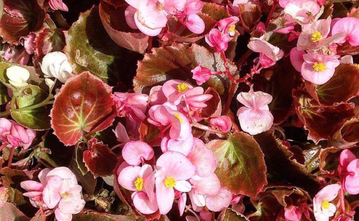 Plantas fáceis de cuidar - Begônia