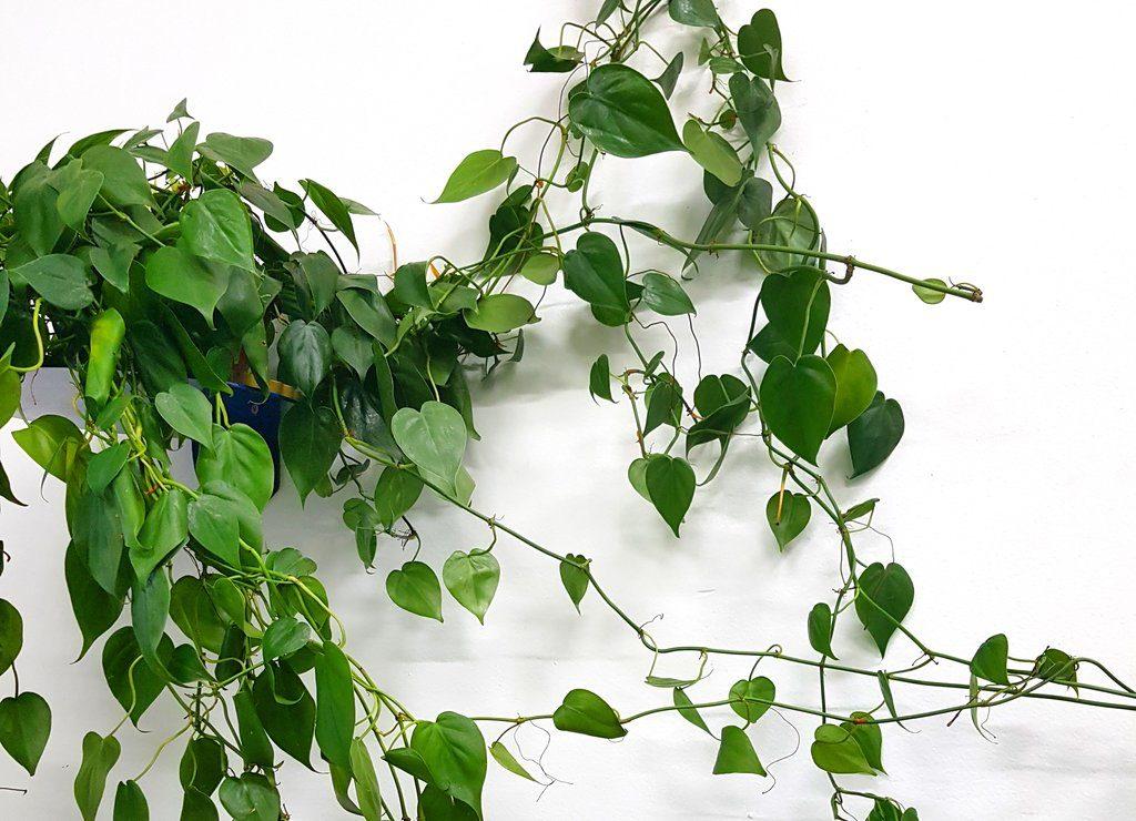 Plantas para dentro de casa - Filodendro