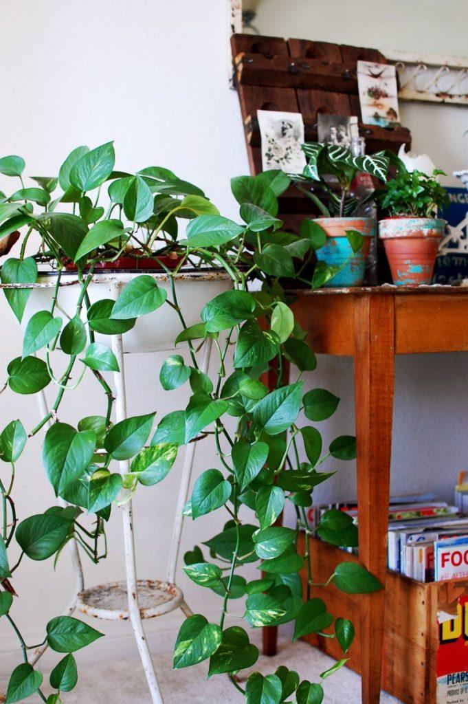 Plantas para cultivar em apartamento - Jiboia