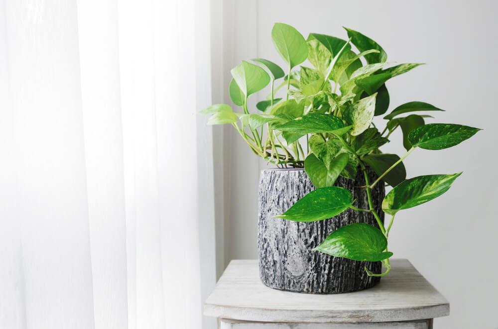 Plantas para dentro de casa - Jibóia