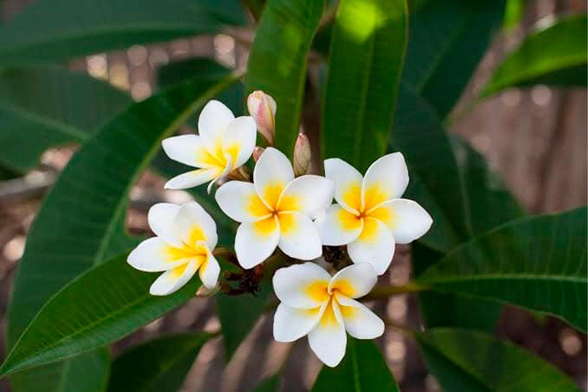La flor de mayo