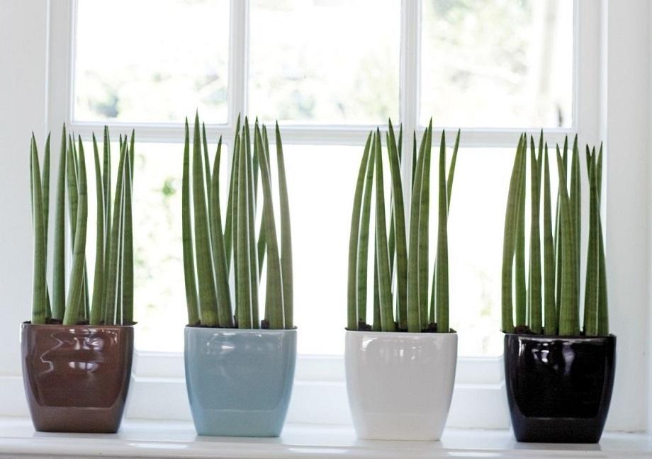Plantas para cultivar em apartamento - Lança de São Jorge