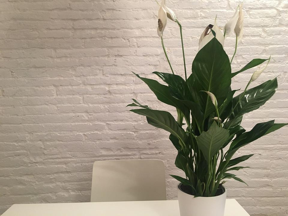 Plantas para cultivar em apartamento - Lírio-da-paz