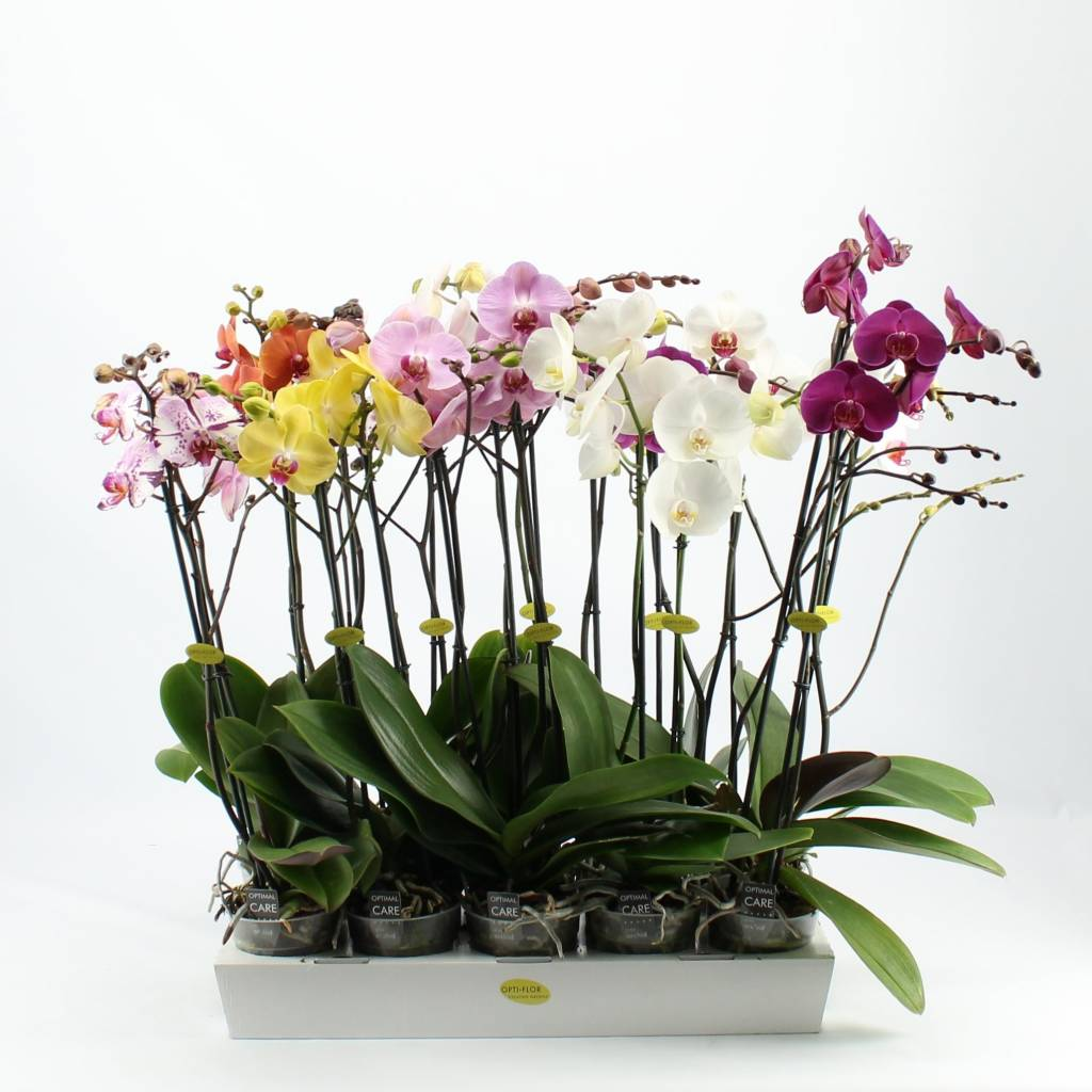 Plantas para cultivar em apartamento - Orquídeas