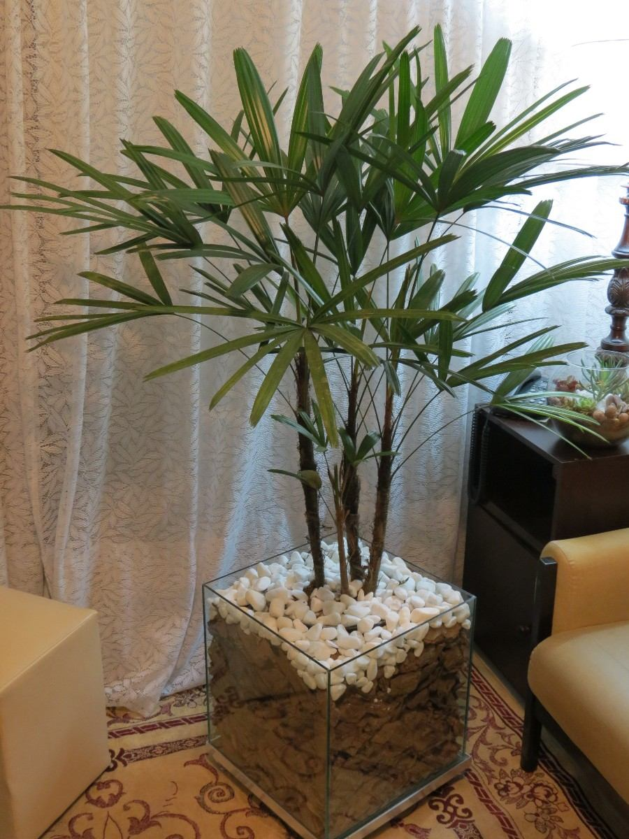 Plantas para cultivar em apartamento - Palmeira-ráfis
