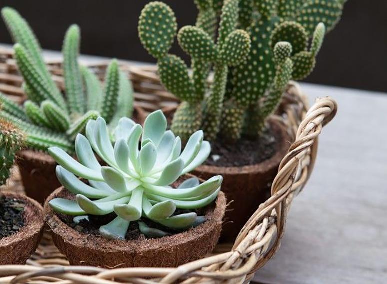 Plantas para dentro de casa - Suculentas e cactos