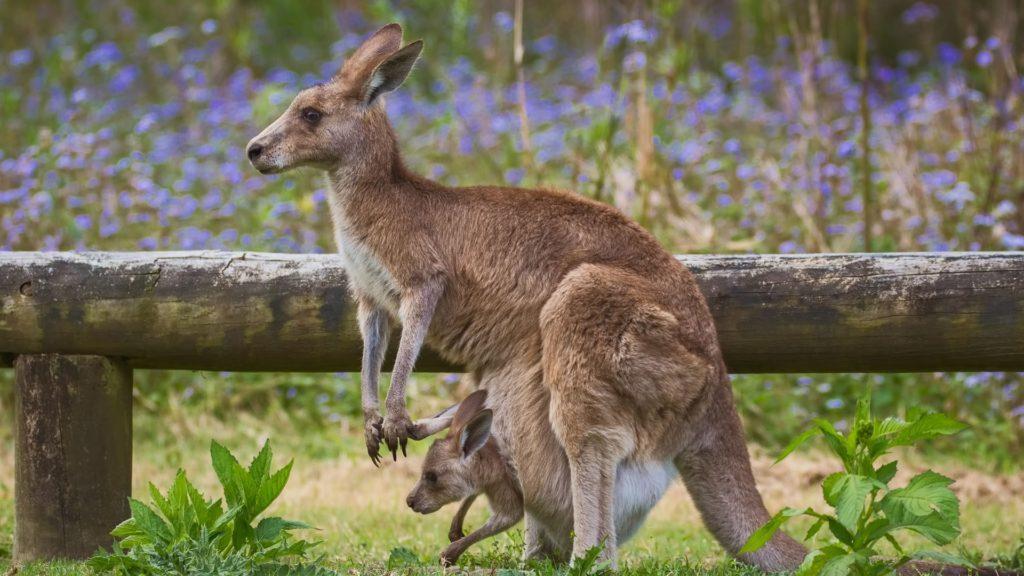 Mamíferos - Canguru com filhote na bolsa marsupial