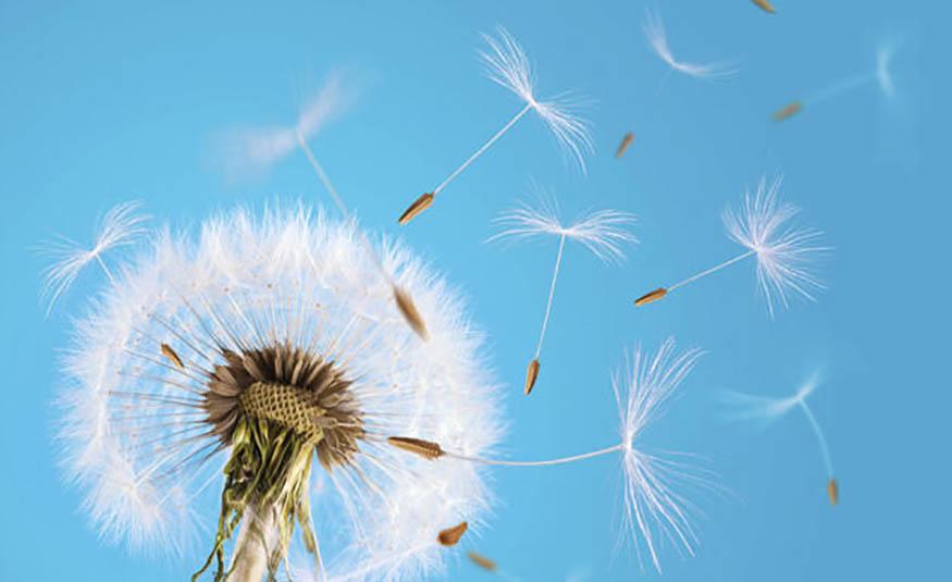 Polinização pelo vento