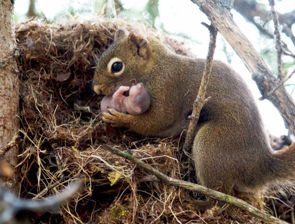Esquilo com filhote