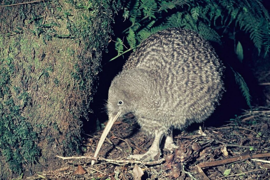 Great spotted kiwi