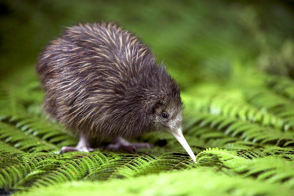 Little brown kiwi